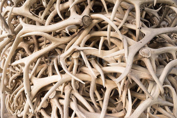Ivory Pile Elk Antlers Animal Horns Art Installation Stock photo © cboswell
