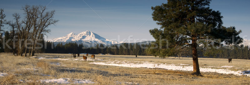 Ranch Livestock at the Base of Three Sisters Mountains Oregon Stock photo © cboswell