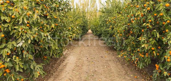 Raw Food Fruit Oranges Ripening Agriculture Farm Orange Grove Stock photo © cboswell