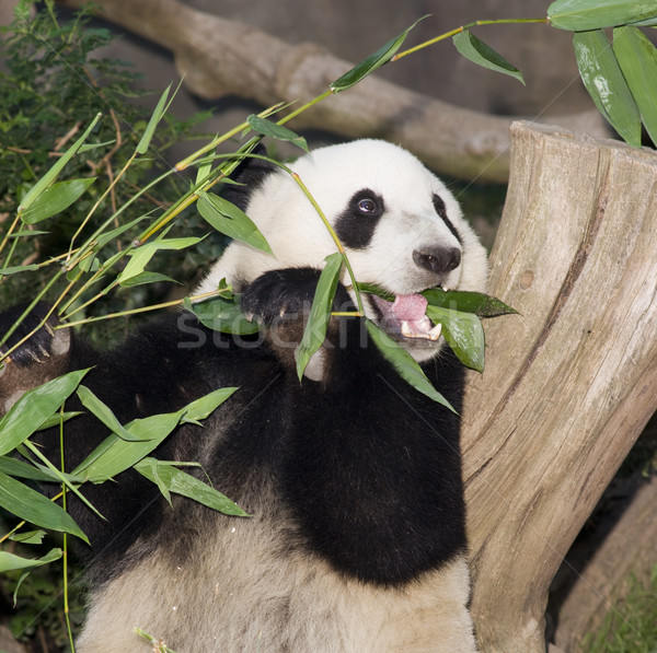 Panda Eats Lunch Stock photo © cboswell