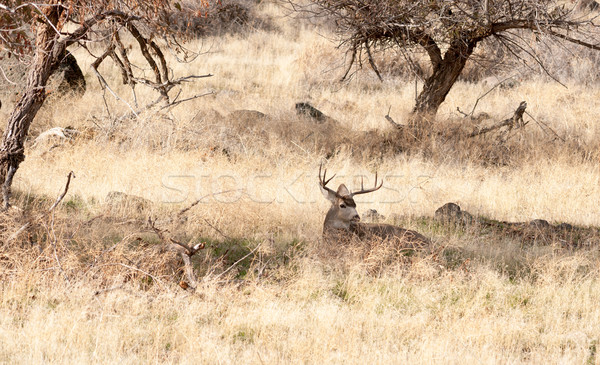 A Young Male Deer Buck Lays in the Shade Stock photo © cboswell