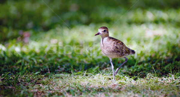 Pacific Golden Plover Wild Bird Oahu Haiwaii Animal Wildllife Stock photo © cboswell