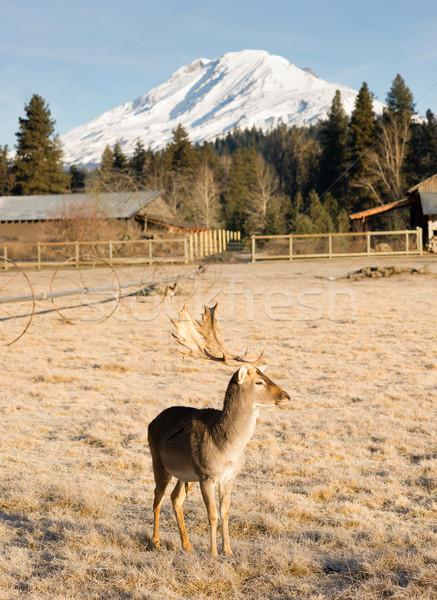 Beautiful Engaged Wildlife Male Buck Elk Antlers Horns Mount Rai Stock photo © cboswell