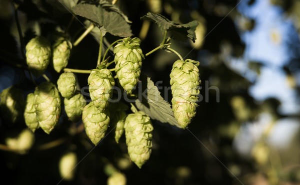 Hops Plants Buds Growing in Farmer's Field Oregon Agriculture Stock photo © cboswell