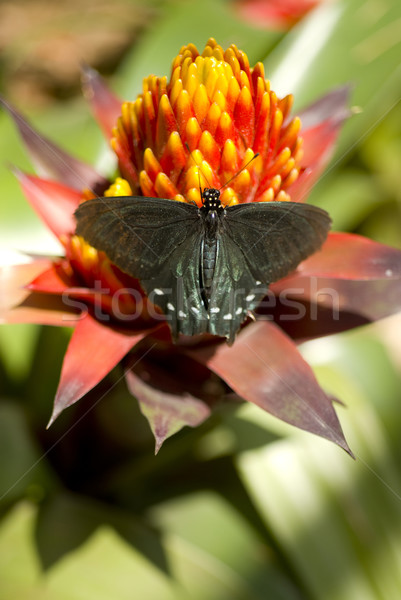 Pipevine Swallowtail Stock photo © cboswell