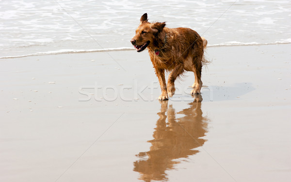 Irish Setter Golden Retriever Dog Running Ocean Surf Sandy Beach Stock photo © cboswell