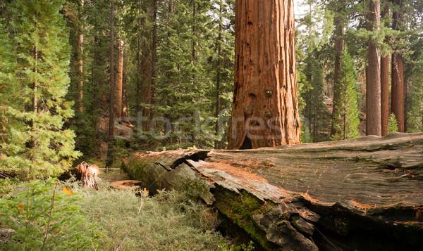 Lasu gigant sekwoja drzewo parku California Zdjęcia stock © cboswell