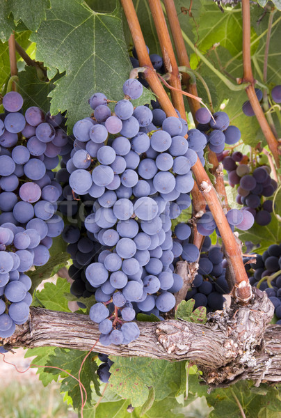Grapes on the Vine Stock photo © cboswell