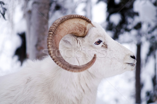 Alaska Native Animal Wildlife Dall Sheep Standing in Fresh Snow Stock photo © cboswell