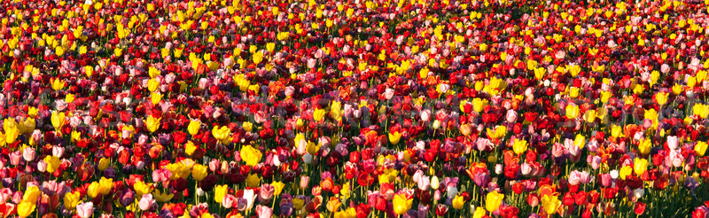 Neat Rows of Tulips Colorful Flowers Farmer's Bulb Farm Stock photo © cboswell