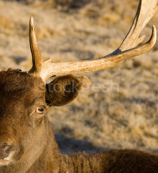 Beautiful Engaged Wildlife Young Male Buck Elk Looking at Camera Stock photo © cboswell