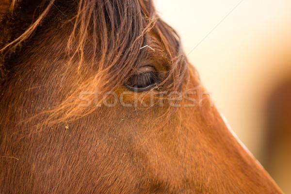 Wild Horse Face Portrait Oregon Bureau of Land Management Stock photo © cboswell