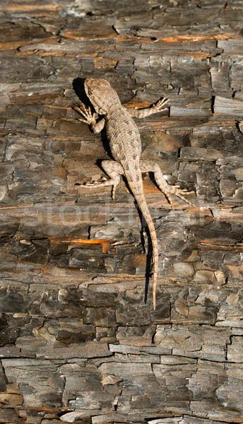 Jaszczurka lasu gad drzewo drewna Zdjęcia stock © cboswell