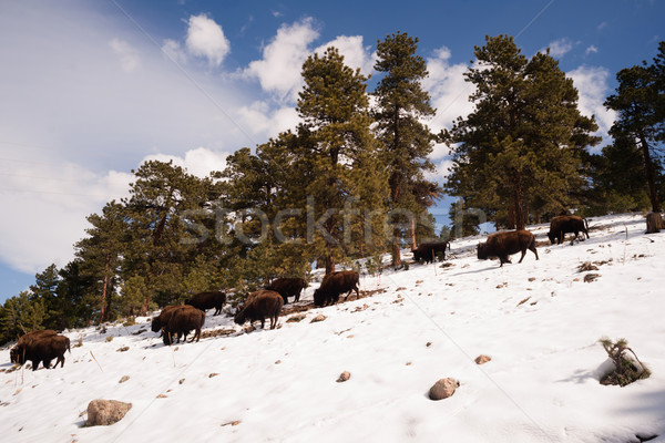 North American Bison Buffalo Roam Hillside Fresh Snow Blue Sky Stock photo © cboswell