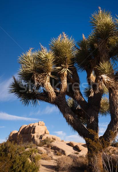 Joshua Tree Sunrise Cloud Landscape California National Park Stock photo © cboswell