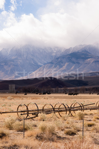 Black Angus Cattle Mountain Ranch Living Livestock Farm Agricult Stock photo © cboswell
