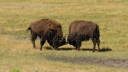 Wild Animal Buffalo Bull Males Fightning for Territory Stock photo © cboswell