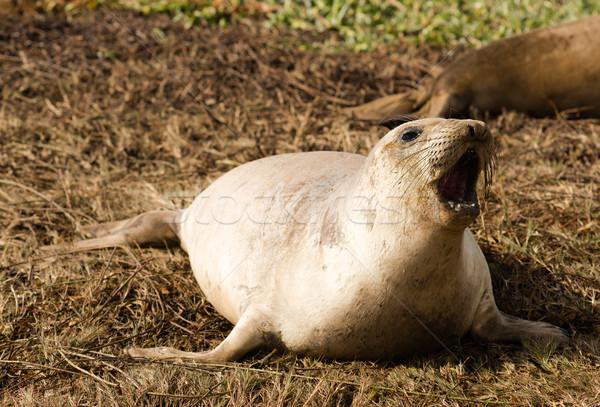 Elephant Seal Wild Mammal Barks Pacific Ocean SeaShore Stock photo © cboswell