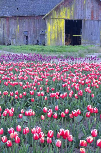 Rustik ahır yıpranmış ahşap çoklu renkler Stok fotoğraf © cboswell