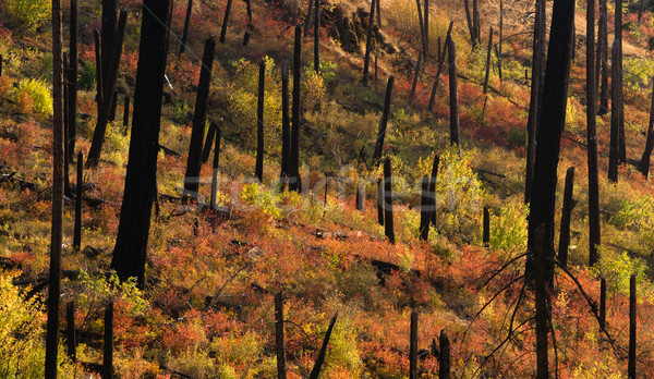New Growth Begins After Forest Fire Burnt Bark Charred Trees Stock photo © cboswell