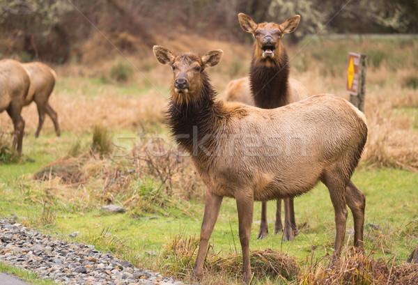 Female Elk Weathering the Rain Northern California Stock photo © cboswell