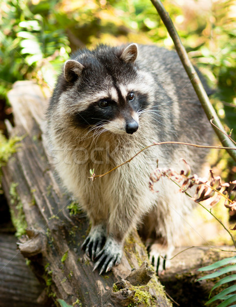 Wild Animal Raccoon Foraging Fallen Logs Nature Wildlife Coon Om Stock photo © cboswell
