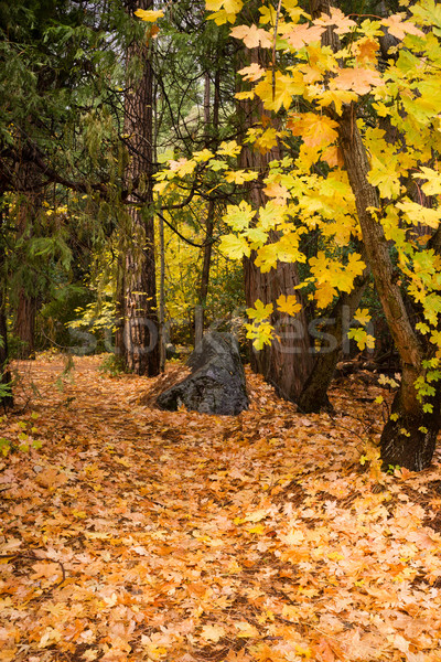 Yellow Orange Autumn Fall Colors Big Leaves Wooded Forest Path Stock photo © cboswell