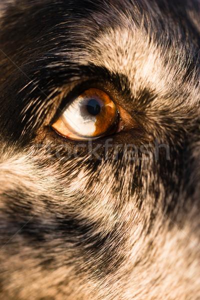 Intenzív kutyaféle kutya farkas állat szem Stock fotó © cboswell
