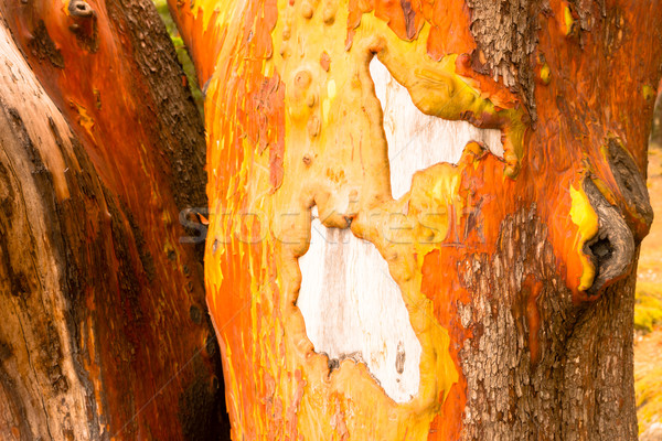 Pacific Madrona Madrone Arbutus Tree Trunk Bare Wood Gnarly Bark Stock photo © cboswell
