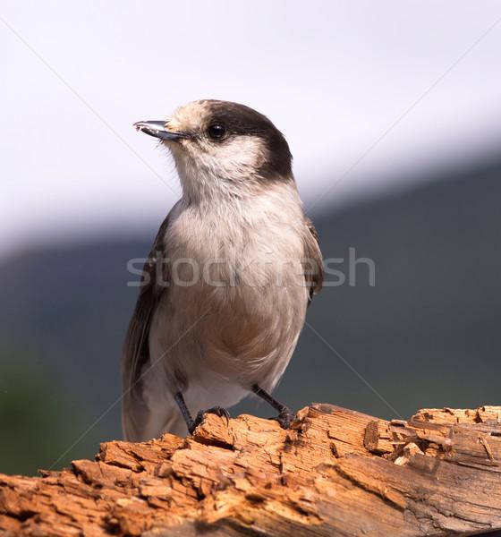 Grey Jay Whiskey Jack Bird Watching Animal Wildlife Stock photo © cboswell