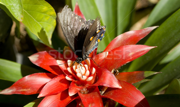 Pipevine Swallowtail Landed Stock photo © cboswell