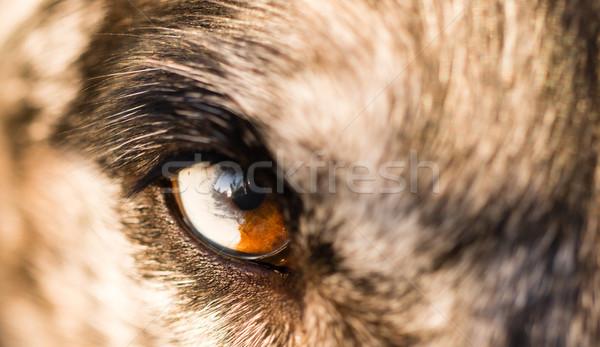 Canino cão lobo animal olho Foto stock © cboswell
