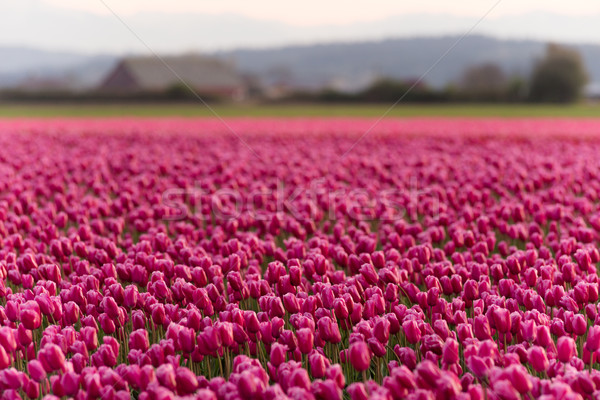 Stock photo: Pink Tulips Bend Towards Sunlight Floral Agriculture Flowers
