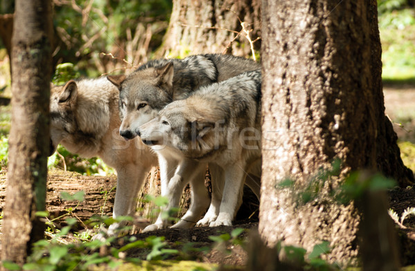 Wild Animal Wolf Pack Standing Playing North American Wildlife Stock photo © cboswell