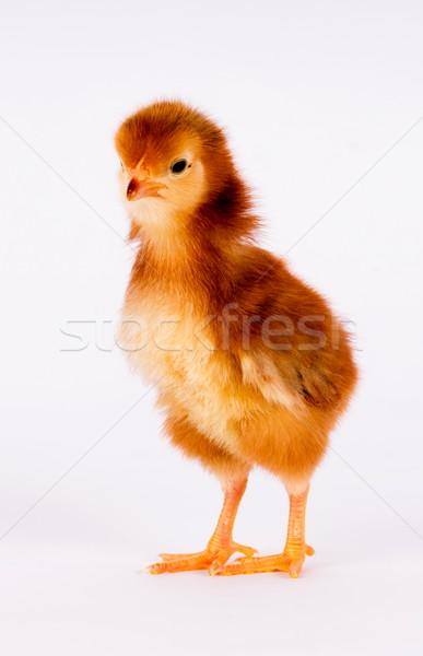 Bebê pintinho recém-nascido fazenda frango em pé Foto stock © cboswell