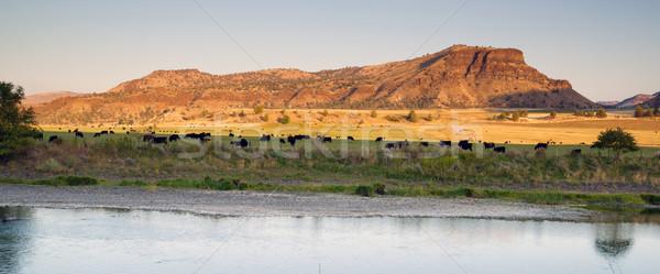 Desert River Ranch Black Angus Cattle Livestock Stock photo © cboswell