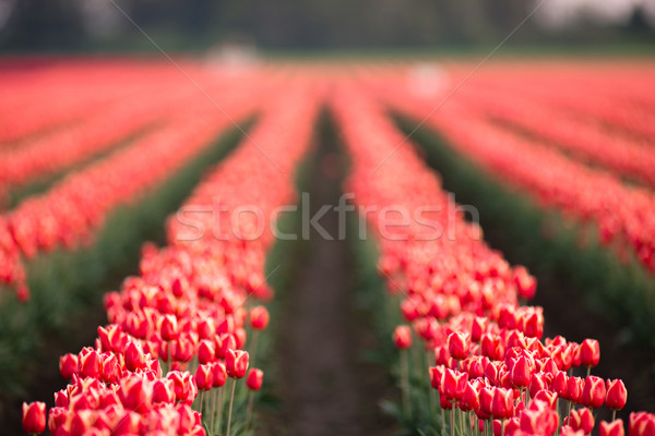 Red White Tulips Rows Bend Towards Sunlight Floral Agriculture F Stock photo © cboswell