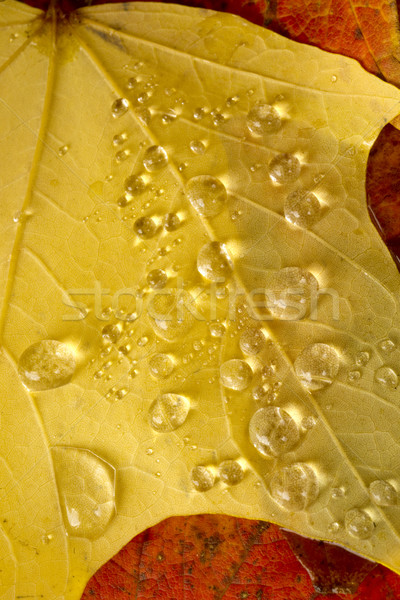 Clear Dew Water Precipitation Droplets Drops Laying Autumn Leave Stock photo © cboswell