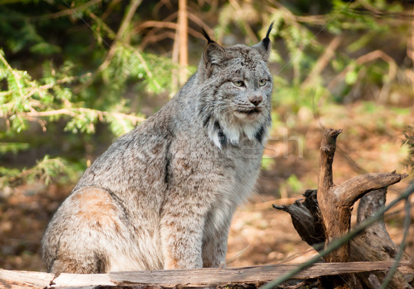 Solitary Bobcat Pacific Northwest Wild Animal Wildlife Stock photo © cboswell