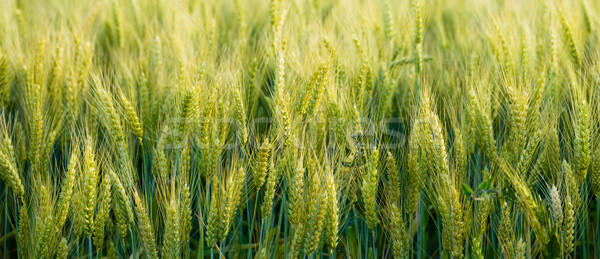 Close Up Whole Grains Real Food Growing in Farmers Field Stock photo © cboswell