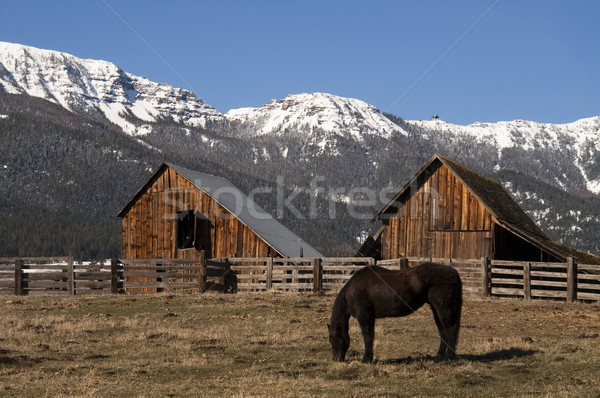 Livestock Horse Grazing Natural Wood Barn Mountain Ranch Winter Stock photo © cboswell