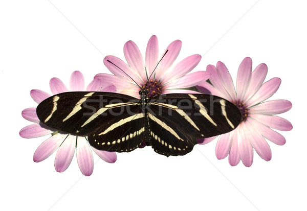 Pink Daisies Zebra Longwing Butterfly Isolated White With Clippi Stock photo © cboswell