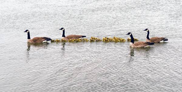 Two Geese Families Swing Huddled Together Goose Chicks Stock photo © cboswell