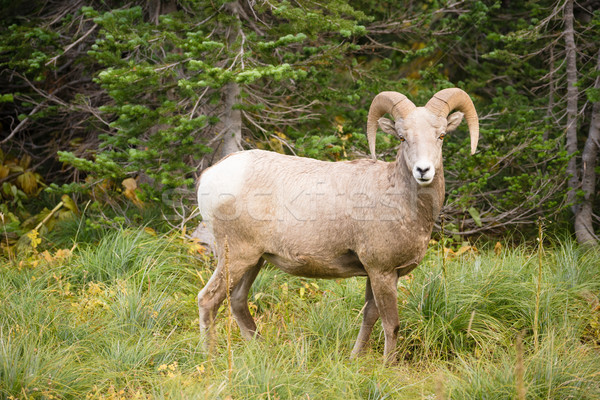 Healthy Male Ram Bighorn Sheep Wild Animal Montana Wildlife Stock photo © cboswell