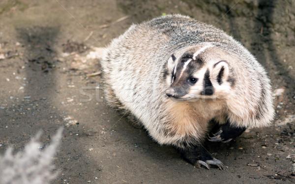 North American Short Legged Badger Wild Animal Mustelidae Family Stock photo © cboswell