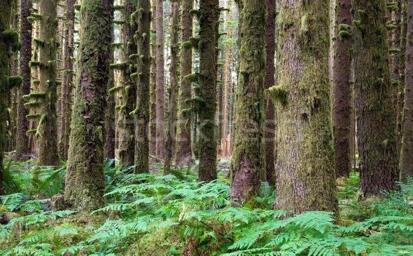 Hoh Rainforest Spruce Hemlock Cedar Trees Fern Groundcover Stock photo © cboswell
