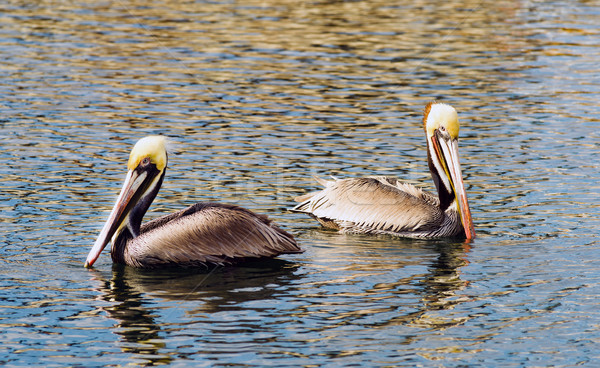 Brown Wild Pelican Bird San Diego Bay Animal Feathers Stock photo © cboswell