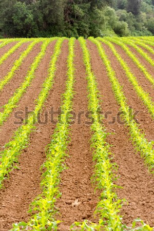Farmer's Field Corn Oregon Agriculture Food Grower Stock photo © cboswell