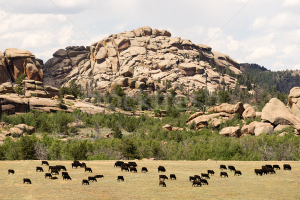 Wyoming Cattle Ranch Livestock Cows Beef Farm Rock Butte Stock photo © cboswell