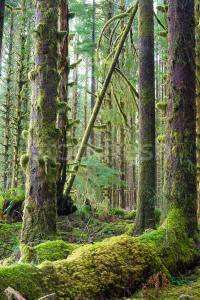 Cedar Trees Deep Forest Green Moss Covered Growth Hoh Rainforest Stock photo © cboswell